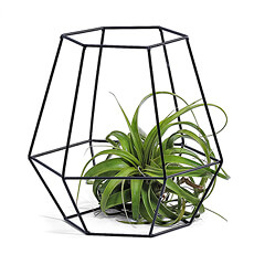 Make a statement with this stunning Phyt air plant showcased in a black hexagon metal basket.