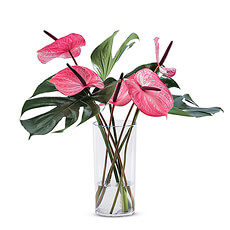 Brighten someone's day with this colorful pink tropical bouquet of Anthurium flowers and Monstera leaves in a clear plexi vase.