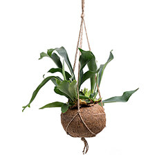 Add elegance to any space with this unique Staghorn Fern (Platycerium) hanging Kokedama plant.