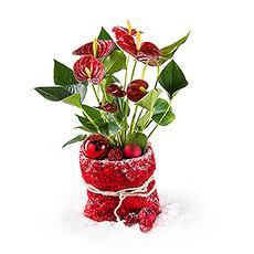 Cet anthurium rouge avec une décoration de Noël joyeux apporte une touche d'ambiance de Noël à la maison.