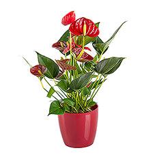 Red Anthurium in Flower Pot