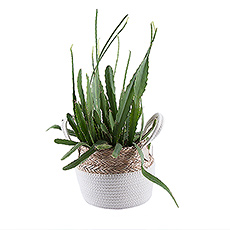 Create a green oasis at home or in the office with this fantastic cactus in eco-friendly plant basket.