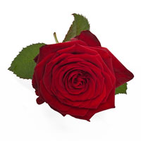 Rose Rouge Emballage Cadeau