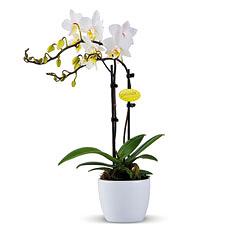 Miniature Orchid Plant (Phalaenopsis)