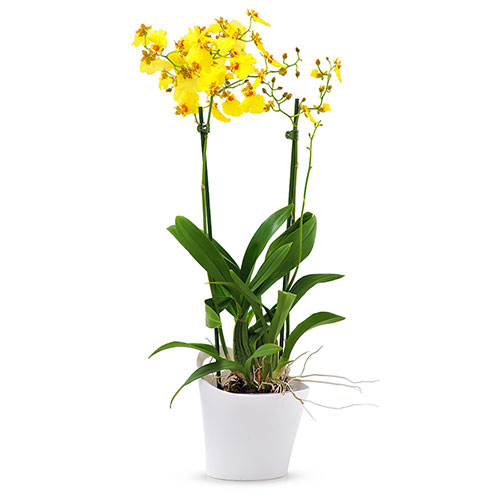 Oncidium Orchid Munsterland Stern - Yellow