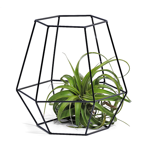 Phyt Air Plant in Black Hexagon Basket