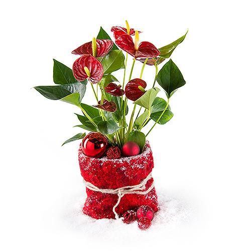 Anthurium Rouge de Noël