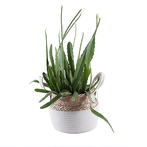 Big Cactus In Woven Basket