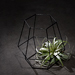 Phyt Air Plant in Black Hexagon Basket [02]