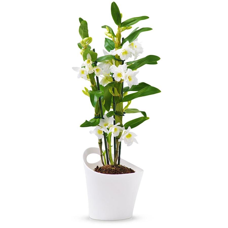 Dendrobium nobile orchid e apollon blanc cadofrance - Symbole de l orchidee ...