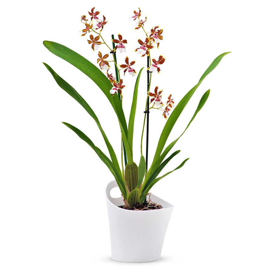 Cambria Orchid 233 E Tropic Jungle Blanc Marron Cadofrance